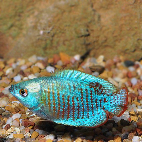 Neon Blue Dwarf Gourami Fish Betta Aquarium Freshwater Aquarium