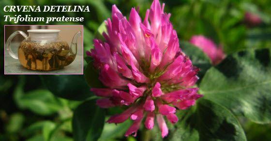 crvena detelina | caj | tinktura | sirup | trifolium pratense  Ovu biljku bi trebala da ima svaka žena u svojoj kućnoj apoteci...