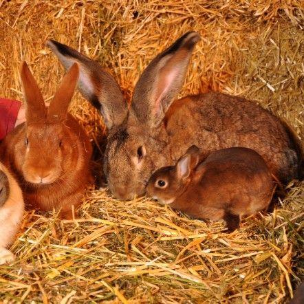 ---Lapin Géant des Flandres---  Le Géant des Flandres est un lapin de ferme très populaire dont les orgines européennes remontent au début du 20ème siècle. On situe son berceau en Belgique, même si de nombreuses races locales ont porté le nom du Géant avant qu'un standard soit officiellement reconnu.