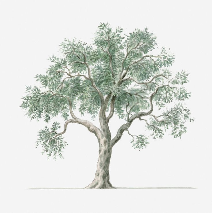 olive tree drawing - Google Search