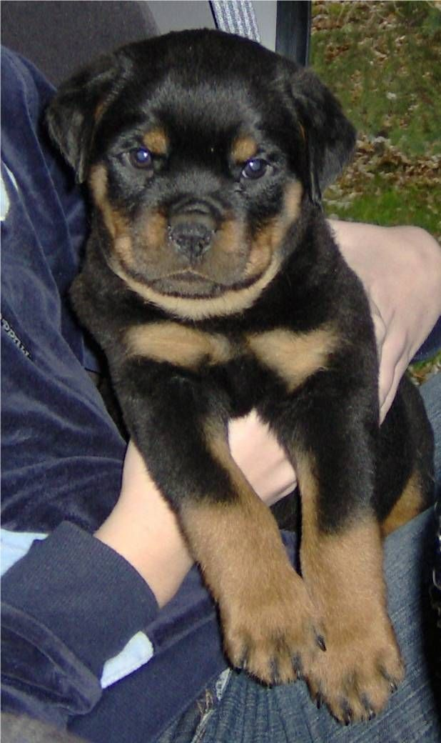 Giant+Rottweilers | Rottweilers for sale!Huge Heads! World Class Rottweiler Pups Puppies ...