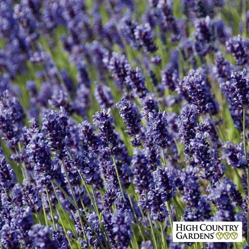 Hidcote Blue Lavandula angustifolia, close up