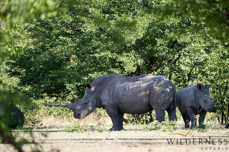 Ongava Lodge  - Another successful reintroduction project is the white and black rhino project – where Ongava holds one of the largest rhino custodianships for the Namibian government #Africa #Safari #Namibia