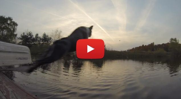 Earl the Boston Terrier doing cannonballs in a lake.