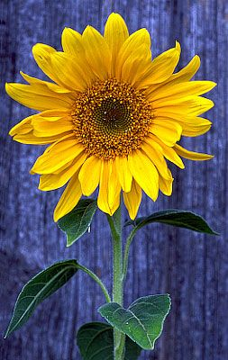 Sunflower - since I feed the birds sunflower seeds, I always have a few sunflowers pop up around the garden.  I love the watch the yellow finches balancing on the flower head when it goes to seed.