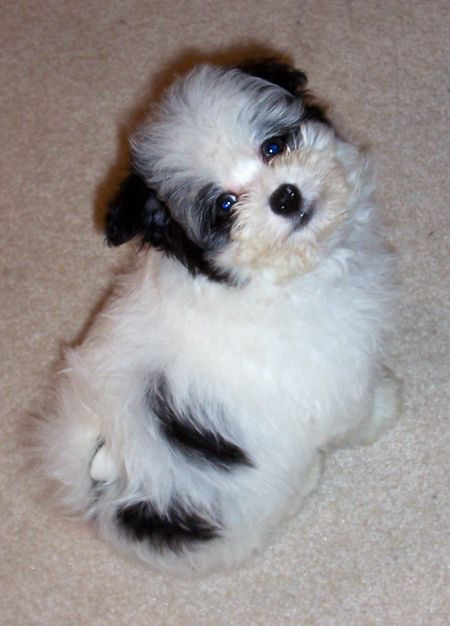 pomeranian vs maltese 1000 images about puppps on pinterest 5566