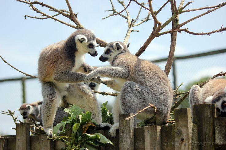 https://flic.kr/p/qPe2Hk | Longleat Zoo | July 2013