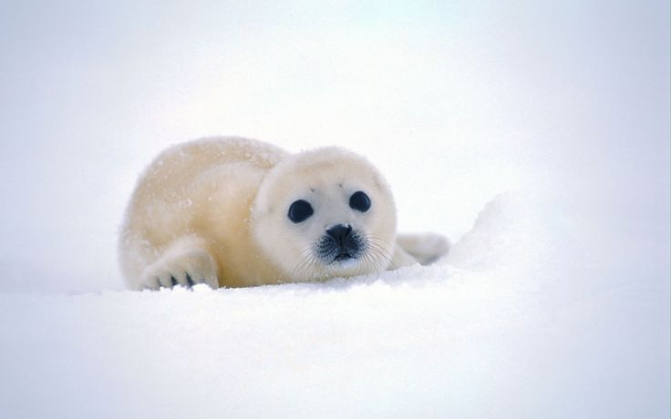 Cute Baby Seals Wants You To Rub It's Belly - Graphic Ashen