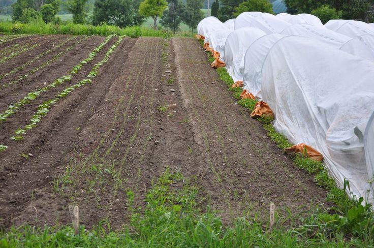 Strattons Farm: CSA Newsletter ~ Week 8