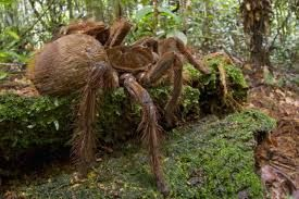 Resultado de imagen para la araña mas grande del mundo y venenosa