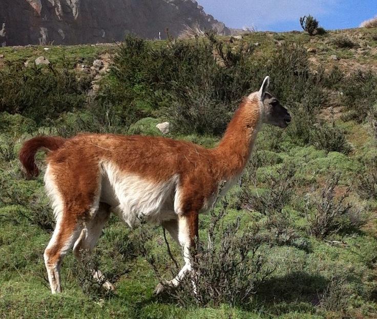 This species of llama is a guanaco.