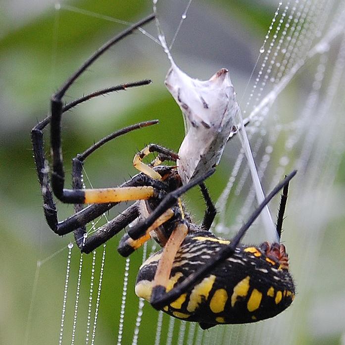 garden spider wrapping   stink bug spiders