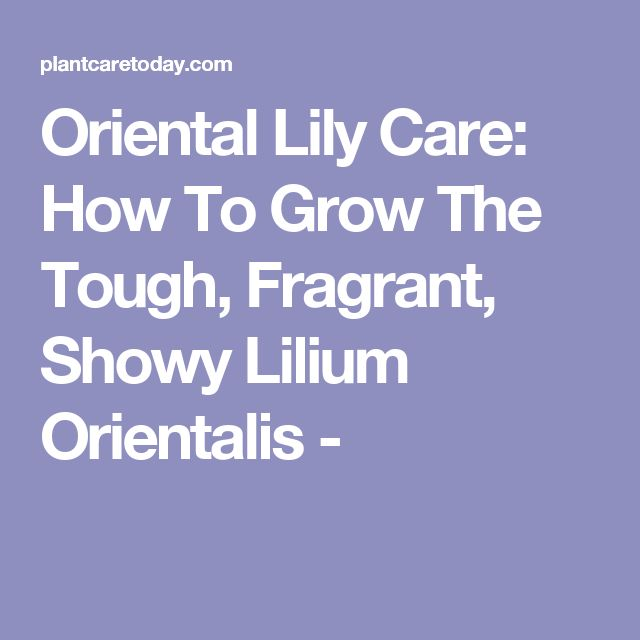 Oriental Lily Care: How To Grow The Tough, Fragrant, Showy Lilium Orientalis -