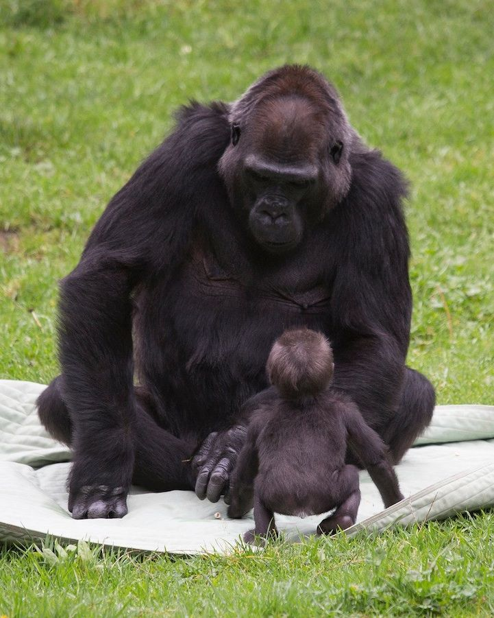 """Recently, the San Francisco Zoo welcomed a new member to their family and she's as cute as can be. Though her mother Nneka is doing fine, the adorable 5-month-old gorilla named Kabibe (or """"little lady"""" in Swahili) is being carefully cared for by her grandmother named Bawang who has assumed the role of adoptive mother for the infant. The 33-year-old matriarch of the family did the same thing for her big brother Hasani, who is now five-years-old."""