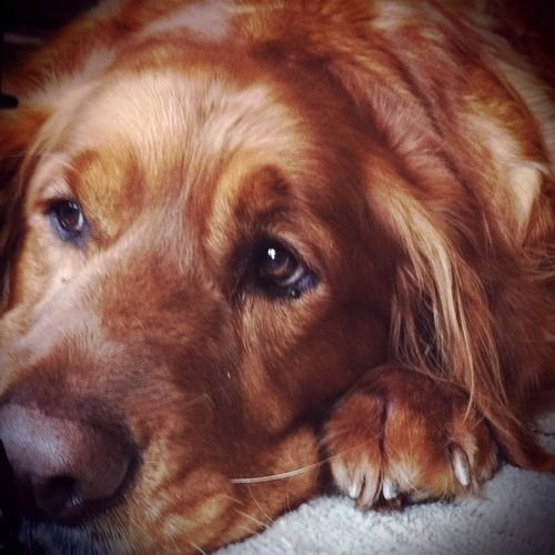 Golden Retreiver - this picture reminds me sooooo much of my golden.   R.I.P. my sweet Baxter!!  :-(