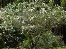 Kunzea ambigua 'Sweet White Kunzea' Tree to 5m, Very hardy, adaptable to a range of soils but prefers a light to medium soil in an open sunny position. Drought and frost resistant.