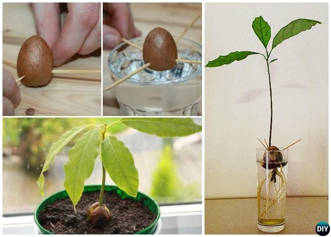 Grow Avocado Tree From Seed Instructions