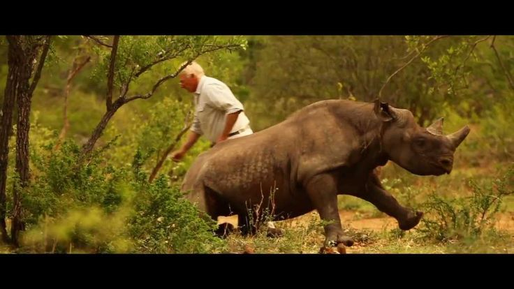 "A flying rhino? Imagine what it takes to translocate live #rhinos by helicopter one by one, to new and better protected areas.  The truth is ""we really need to fight for them, because if they don't have champions they're doomed to disappear"" - Jacques Flamand, WWF-South Africa.   Please share this #amazing #video!"