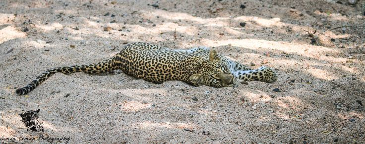 We found this female Leopard in a dried up riverbed after we saw her tracks on the road. She was rolling around in the sand being really relaxed with our presence. It was like she was giving us a show. I like this picture because of the combination of the sunlight and the Leopard laying in the white sand, it gives a nice aspect to the picture!  #leopard #wildlife #wildlifephotography #nature #photography #conservation #cats
