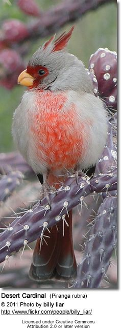 Desert Cardinals occurs primarily in Mexico, but can also be found in the southern parts of the United States, specifically in Arizona, New Mexico and Texas.