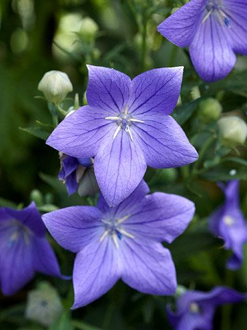 Balloon flower: Lovely little blue balloon like flowers that are perennials, in zones 4-9. They like sun to partial sun, blooms for you late summer enticing to the lovely butterflies.