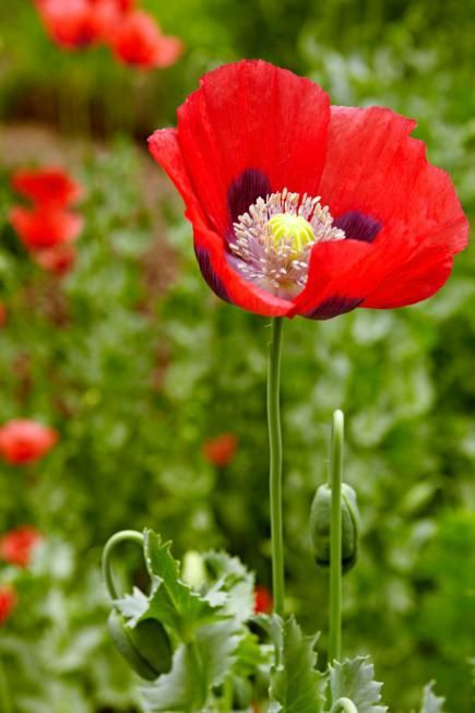 110 best photography poppies images on pinterest for Pretty low maintenance flowers
