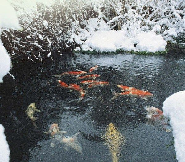 How To Keep A Pond From Freezing Without Electricity Koi Pond Backyard Goldfish Pond Koi Fish Pond