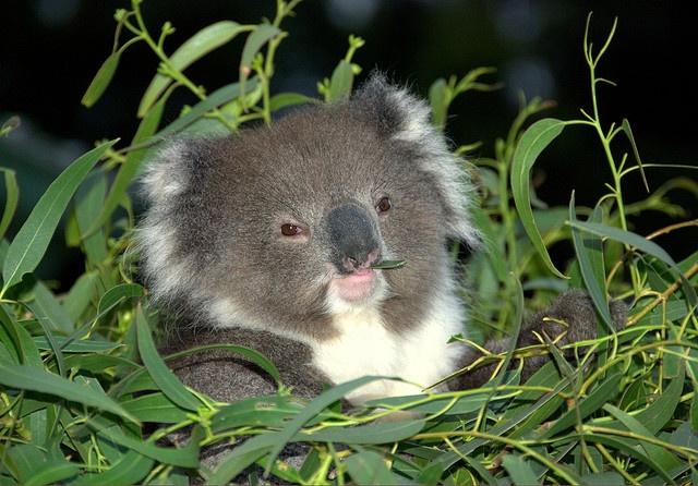 Fat baby Koala