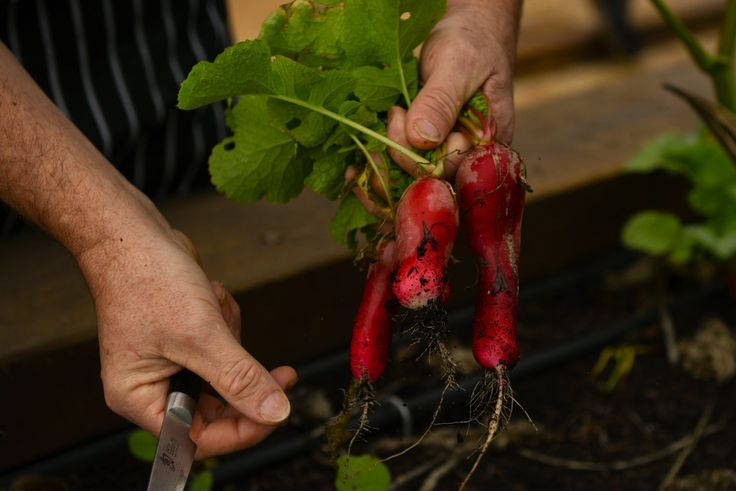 Yum! Those radishes look delicious! Wonder what Tony Howell plans on using them in?