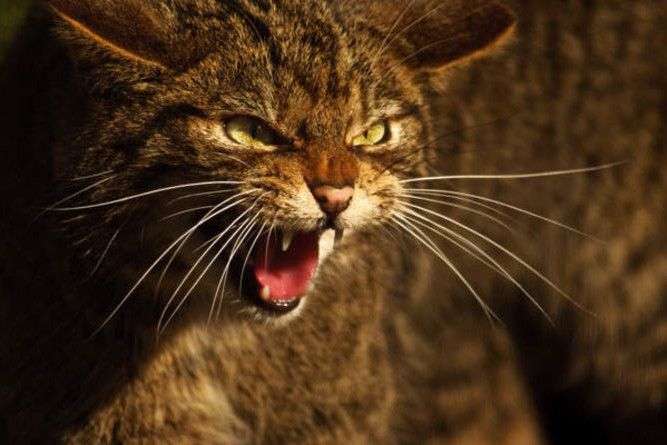 Fears Over Illegal Trade In Scottish Wildcats Express Wild Cats Small Wild Cats Most Endangered Animals