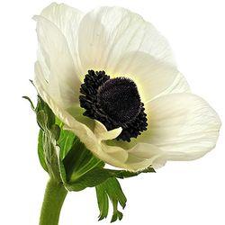 Anémona blanca Simboliza los nuevos aires, el cambio, el amor renovado, la suerte y la anticipación.