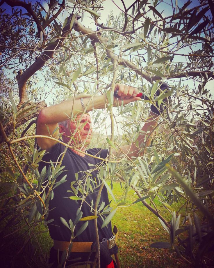 17 best ideas about pruning olive trees on pinterest for What to plant under olive trees