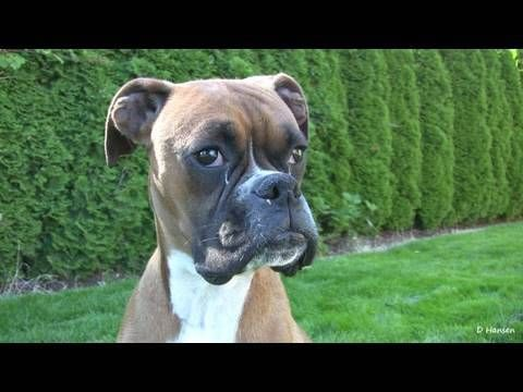 Part 1 of a Boxer Female giving Birth to her puppies