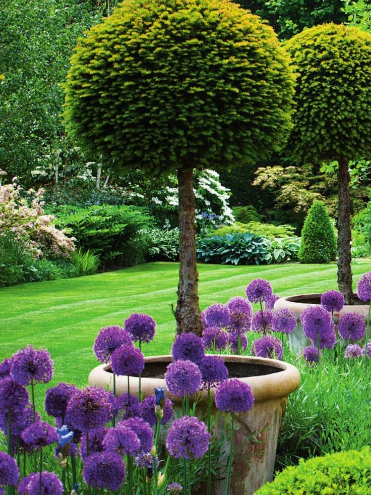 an english garden with lollipop shaped yew topiaries in pots and allium purple sensation in early summer