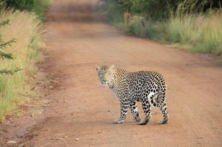 Fondo de Pantalla de Leopardo, Felino, Salvaje, Mirada, Pelaje