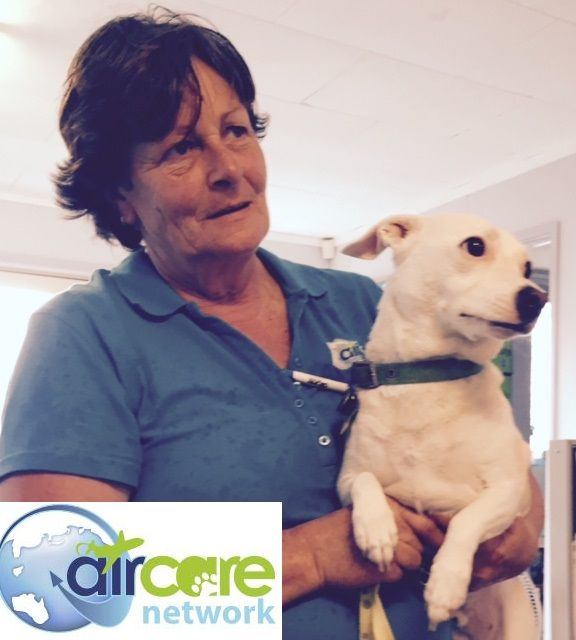 """This is """"Karma"""", the Fox Terrier X Chihuahua who is off to San Francisco tonight who we have managed to rush through with only a few days notice!"""