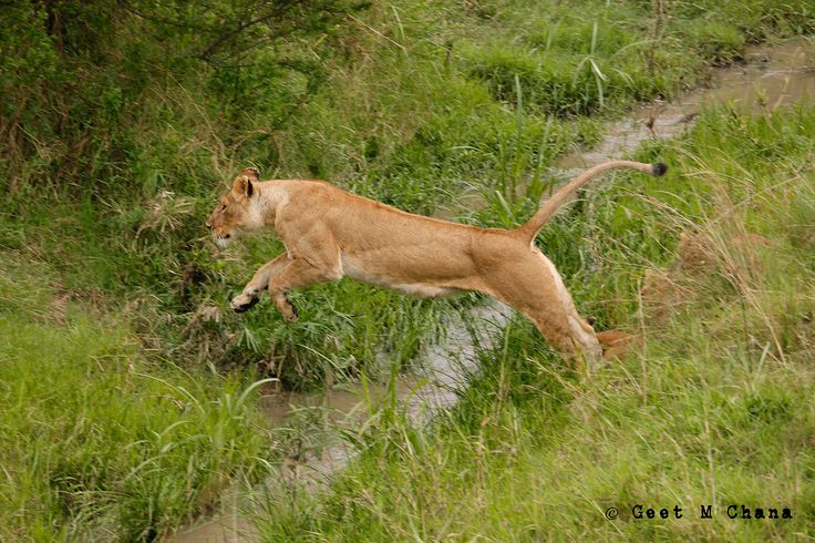 Lioness jumps over stream.