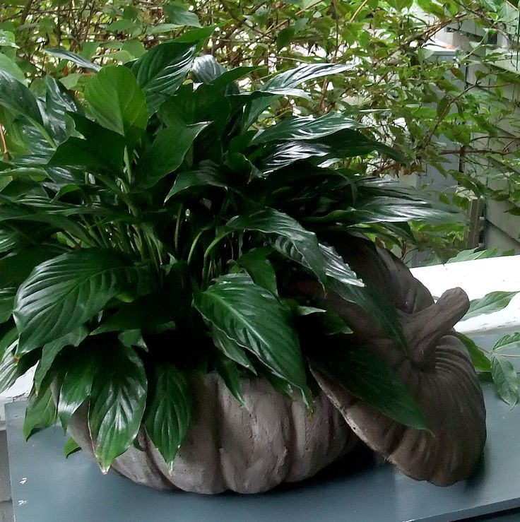 pumpkin planter with peace lily Plant leaves, Pumpkin