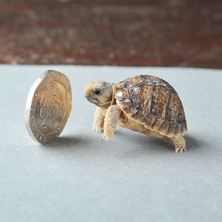 Tiny endangered Egyptian Tortoise....I need one!