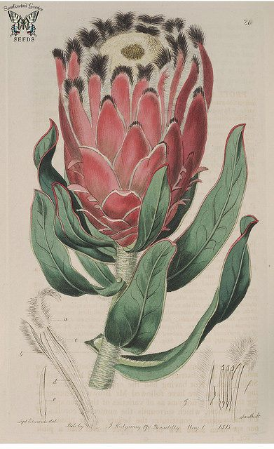 Protea burchellii [as Protea pulchella]. Botanical Register, vol. 1 (1815) | by Swallowtail Garden Seeds