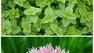 Perennial Herbs that are Easy to Grow