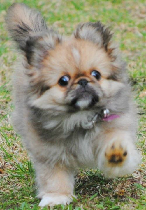 "Click visit site and Check out Cool ""Pekingeses"" T-shirts. This website is excellent. Tip: You can search ""your name"" or ""your favorite shirts"" at search bar on the top."