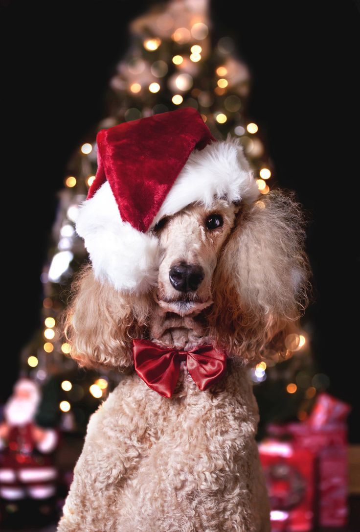 Montgomery the Christmas Poodle...  Does your fur friend have the Christmas spirit?