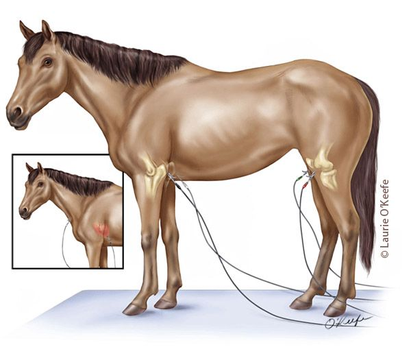 Horse electrode placement for ECG Laurie Ou0027Keefe Art - equine veterinary nurse sample resume
