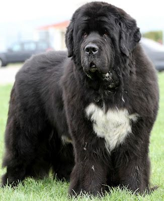 wow....newf this used to be just like My newfie nd he died of parvo virus, the best dog I ever had still miss him