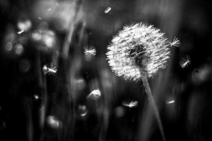 Flying dandelion by tabby on @creativemarket