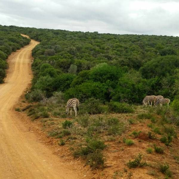 Zebra's, Addo National Park, Suid-Afrika, Zuid-Afrika, South Africa