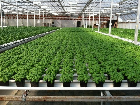 hydroponic basil terra tech corp announces strategic with edible farms