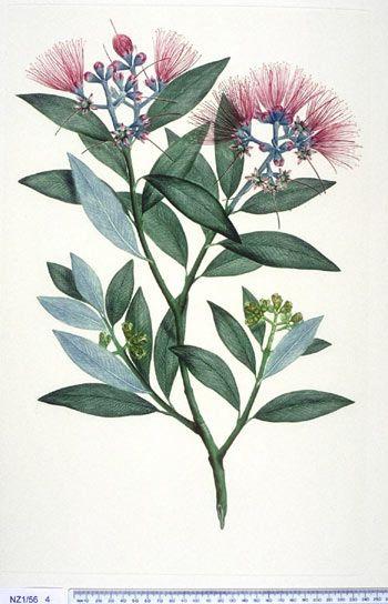 Metrosideros Excelsa --- New Zealand - Curtis's bot. Mag. 49: t. 2350 [1822]. The Endeavour botanical illustrations - artist Gabriel Smith