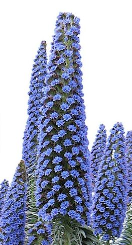 Echium Pininana, an Australian daylily, draws a large amount of bees and hummingbirds to it